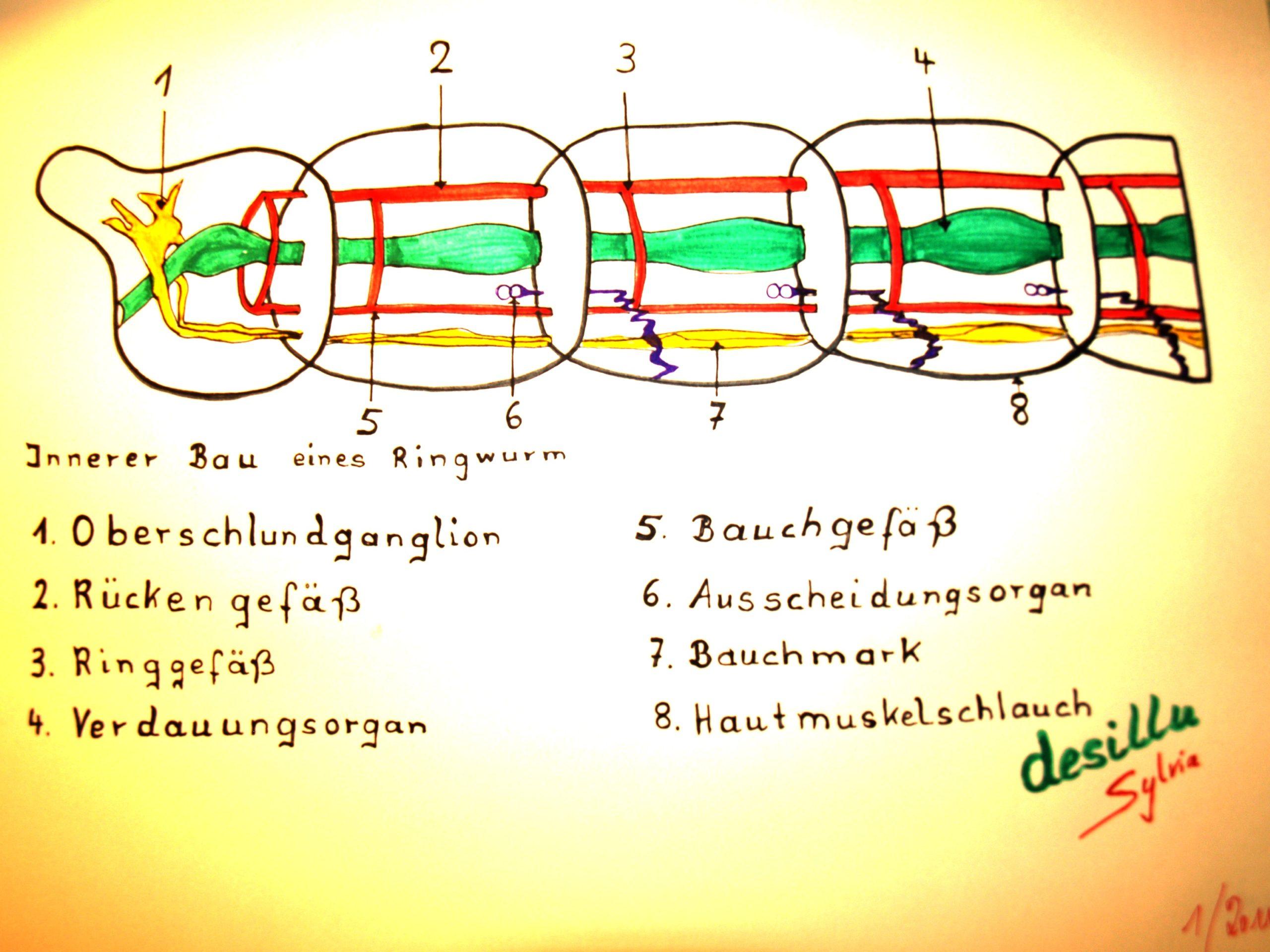 Fantastisch Regenwurm Innere Anatomie Zeitgenössisch - Menschliche ...
