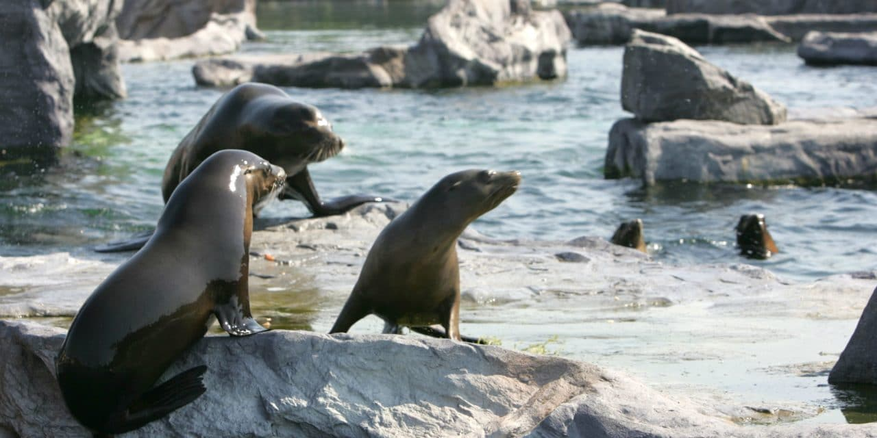 Seelöwenaustausch in der ZOOM Erlebniswelt